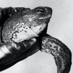 Black and white image of a turtle swimming.